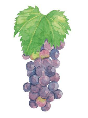 Grape ashisawa A watercolor