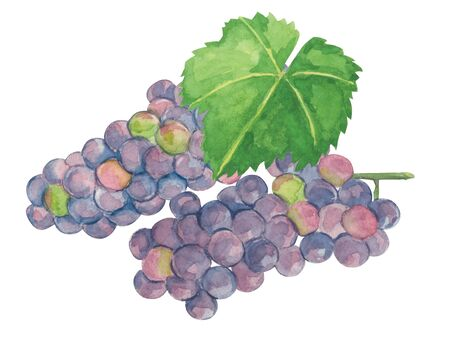 Grape ashisawa A watercolor
