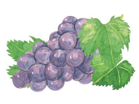 Pione grapes watercolor?