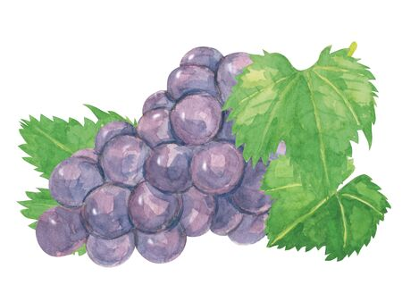 Pione grapes watercolor?