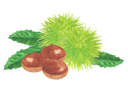 chestnut. watercolor painting on white background
