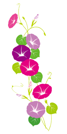 Vector illustration of morning glory