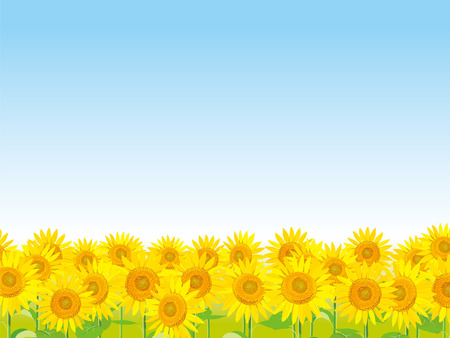 Vector Illustration: wallpaper and background landscape sunflowers garden and sky.  Summer greetings to you.  Illustration