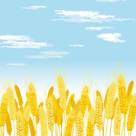 Wheat field on a blue sky
