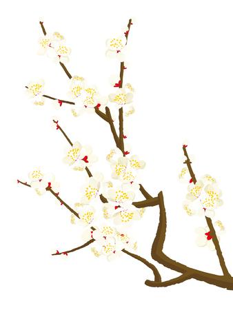 Plum blossom vector illustration
