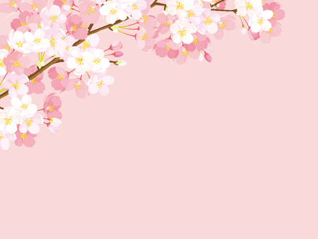 Pink cherry blossom. Vector illustration on pink background.