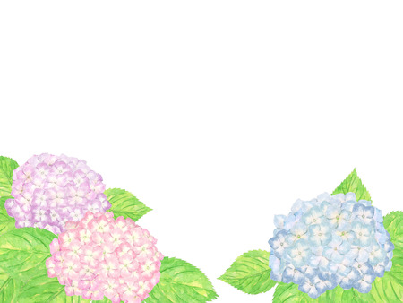 hydrangea. watercolor painting on white background