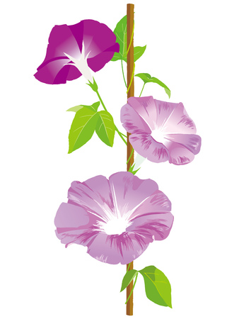 Morning glory illustration 스톡 콘텐츠 - 104144953