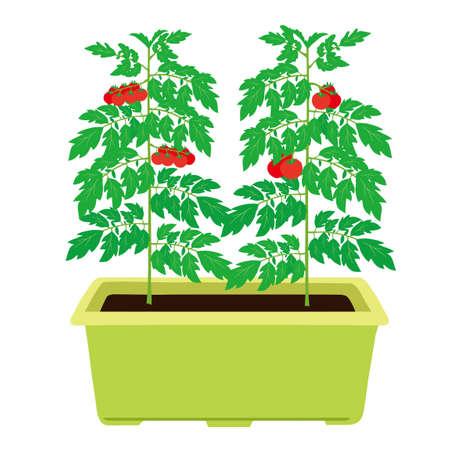Planter tomato and mini tomato cultivation illustration