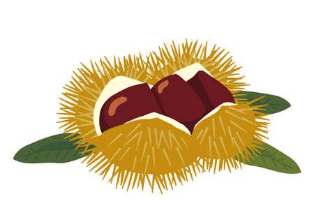 Chestnut illustration