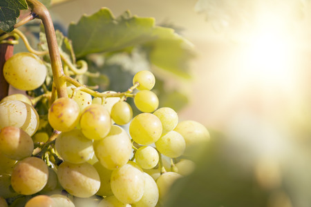 Delicious yellow autumn grape fruit macro detail Reklamní fotografie