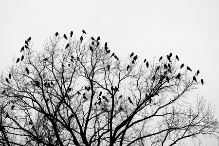 Silhouette of a crow (raven) on a tree Stock Photo