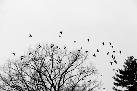 a flock of crows sitting on a tree and flying around tree Stock Photo