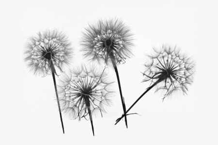 silhouette of four flowers dandelions