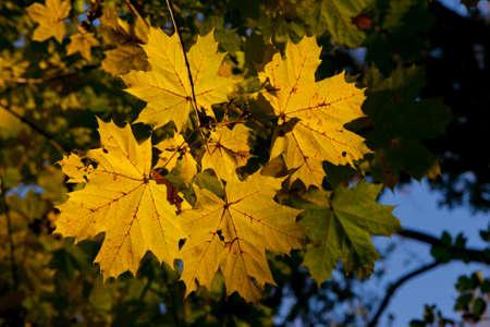 Four Autumn maple leaves  detail Stock Photo