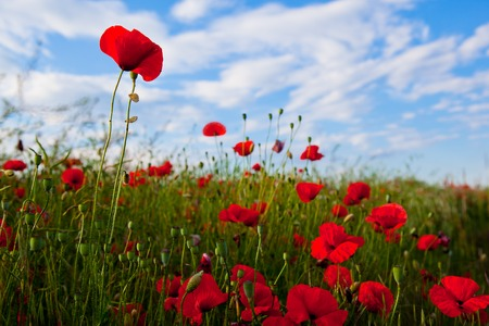 Field of poppy and blue sky Stock Photo