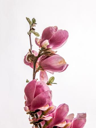 Magnolia  soulangeana twig on the white background