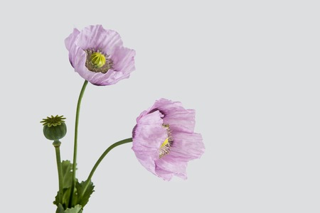 Pink poppy flowers on white background