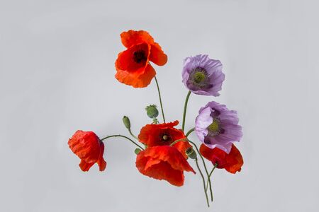 Pink and red poppy flowers on white background Stock Photo