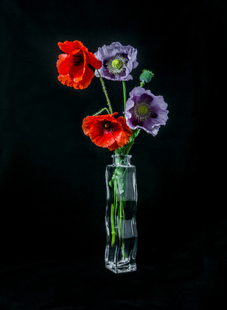 Pink and red poppy flowers in vase on black background