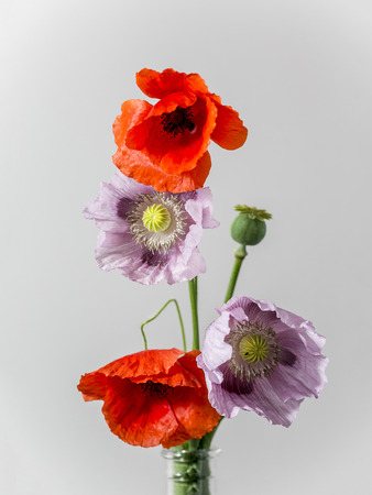 Pink and red poppy flowers in vase on white background