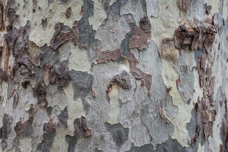 Detail Old bark of sycamore