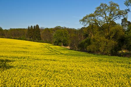 beautiful field of yellow flowers of rape