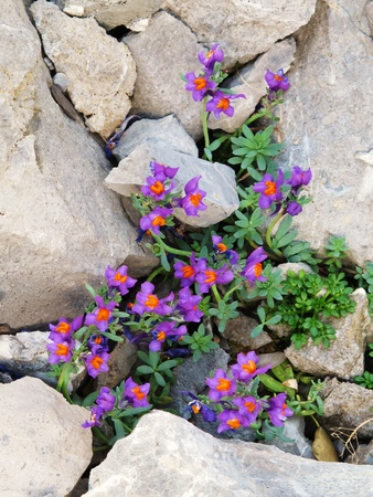stones with flower: beautiful little mountain flowers