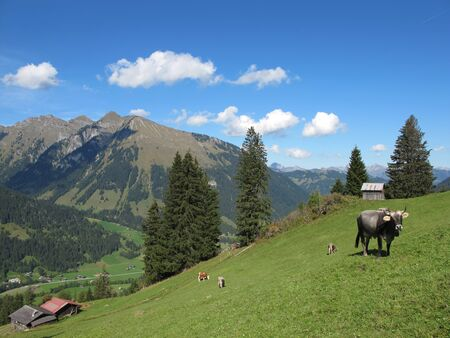 chaired: cows grazing on a  mountain-meadow