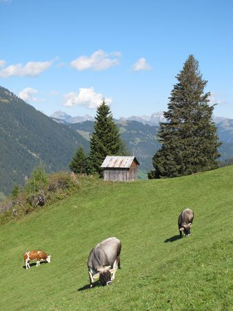 canton berne: cows grazing in the alps