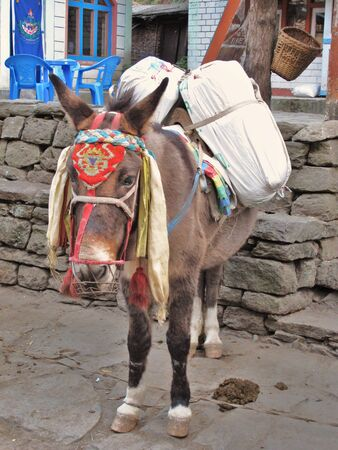 Loaded mule waiting Stock Photo