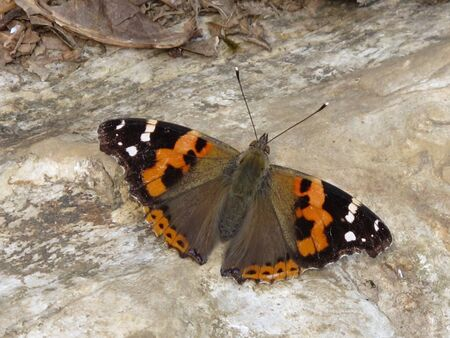 admiral: Indian Red Admiral