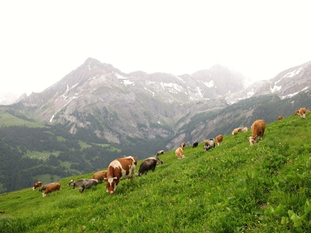 Grazing cows in the Bernese Oberland, Switzerland photo