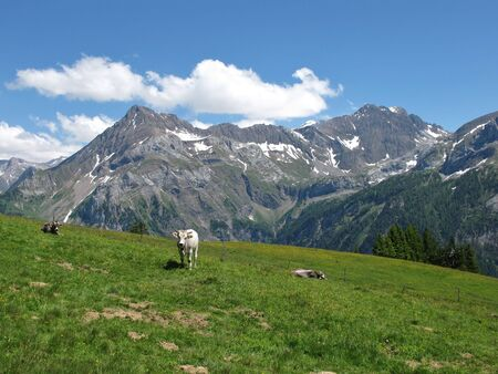 canton berne: Cattle in the Swiss Alps