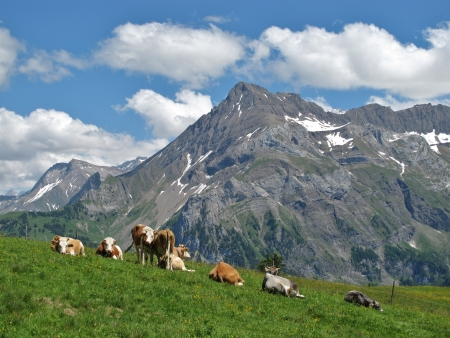 canton berne: Cattle in the Bernese Oberland, Switzerland