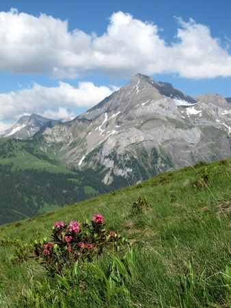 canton berne: Alpenrosen and mountains near Gstaad, Switzerland