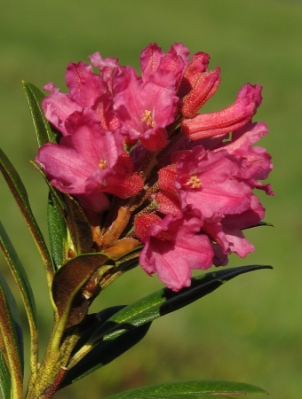 Bloom of a  Alpenrose,  Mountain flower of the Rhododendron family Stock Photo
