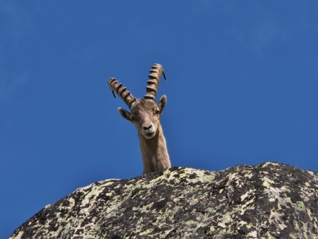 Curious Ibex looking at me  real