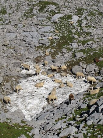 enyoing: Sheep Herd Enyoing The Cooling Snow