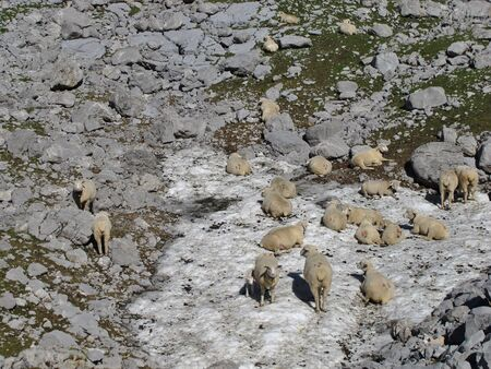 glarus: Sheep Cooling Themselves On A Snowfield