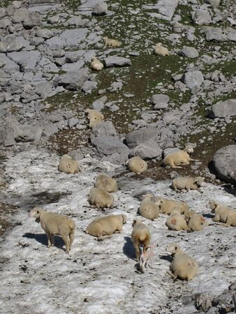 enyoing: Sheep Enyoing The Refreshing Snow On A Hot Day
