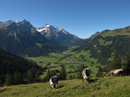 Grazing Raetisches Grauvieh In The Alps photo
