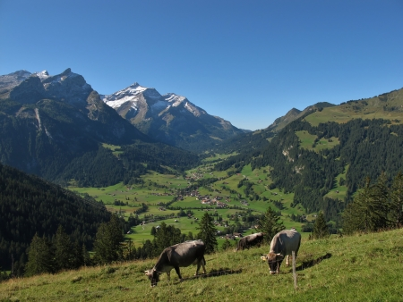 gsteig bei gstaad: Grazing Cows In The Bernese Oberland