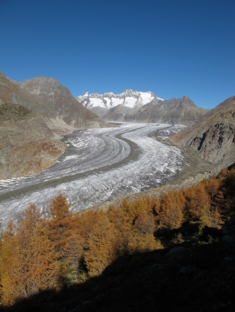 Aletschgletscher And Larch Forest In The Autumn