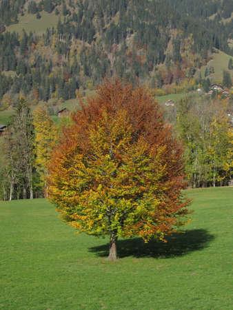 saanenland: Beautiful Tree In The Autumn Stock Photo