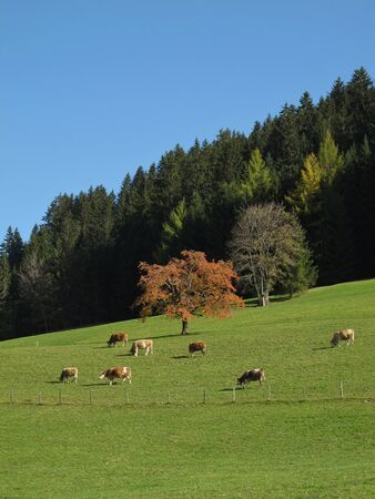 Grazing Cows In The Autumn Stock Photo - 16459261