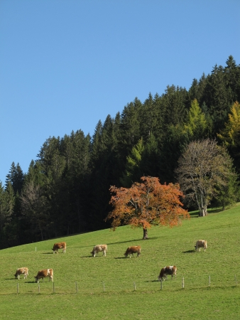 Grazing Herd Of Cows, Colorful Trees Stock Photo - 16459254
