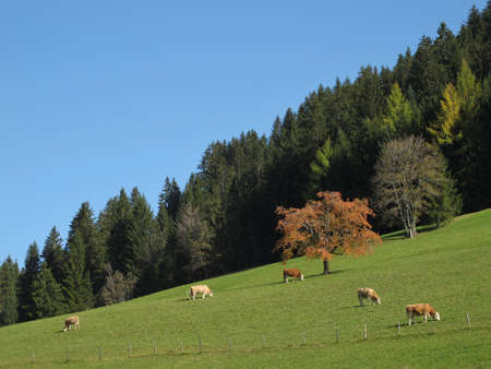 Colorful Forest In The Autumn And Grazing Cows photo