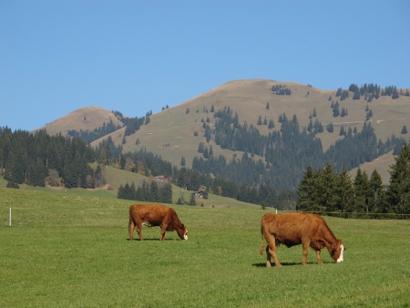 Grazing Cows In Schoenried, Bernese Oberland photo