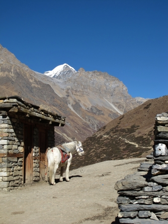 Mule In The Annapurna Conservation Area, Nepal photo